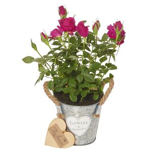 Mini Bright Pink Rose Plant - Flower Gift