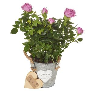 Mini Pink Rose Plant - Flower Gift