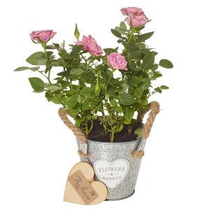 Mini Light Pink Rose Plant - Flower Gift