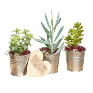 Succulent Plant Section - Flower Gift