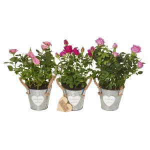 Trio Mini Rose Plant Set - Flower Gift